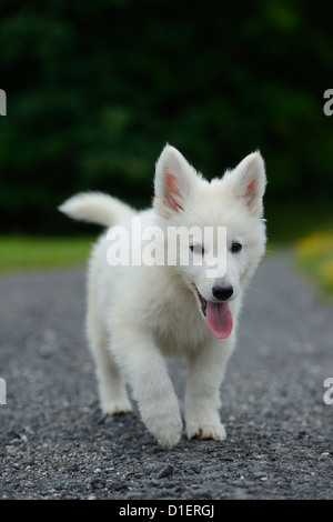 White Wolfdog puppy on a road - Stock Photo