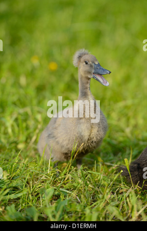 Indian Runner Duck chick on meadow - Stock Photo