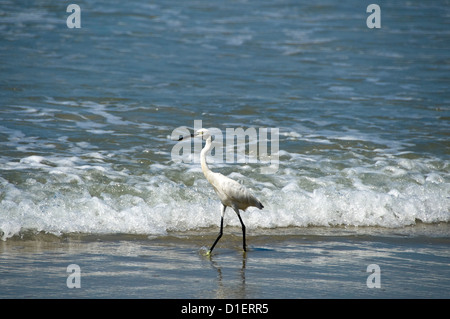 Horizontal close up of a Little Egret bird stalking fish in the shallow water on the beach at Varkala, Kerala. - Stock Photo