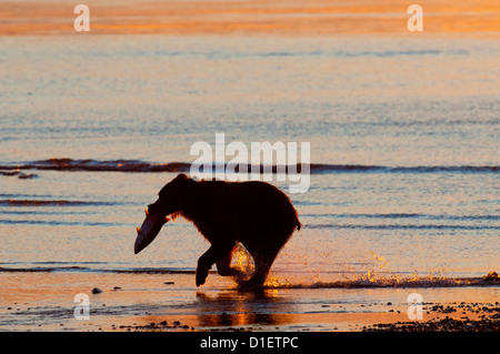 Brown Bear running with salmon at sunrise; Lake Clark National Park, AK - Stock Photo