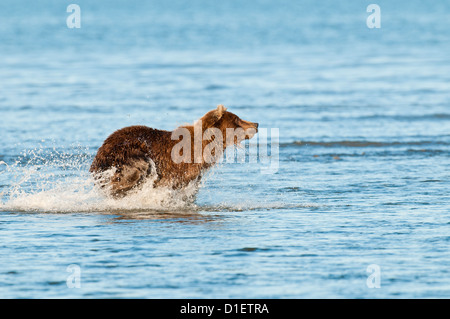 Brown Bear chasing salmon; Lake Clark National Park, AK - Stock Photo