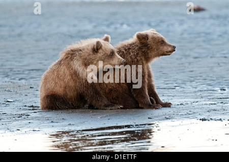 Brown bear cubs on tidal flat; Lake Clark National Park, AK - Stock Photo