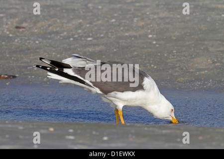 Lesser Black-backed Gull (Larus fuscus) feeding Gulf of Mexico USA - Stock Photo