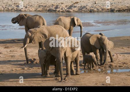 Elephants by shoreline of Uaso Nyiro River, drinking-baby in herd - Stock Photo