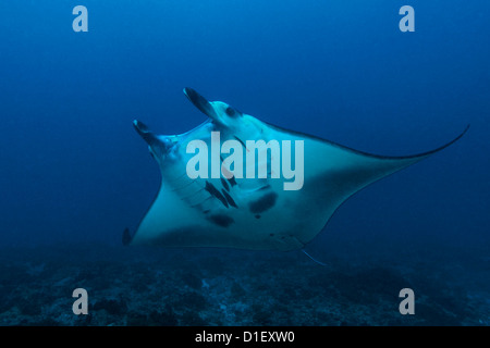 Reef Manta Ray (manta alfredi) over reef at Nusa Penida, Bali, Indonesia, Indian Ocean, underwater shot - Stock Photo