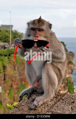 Monkey with stolen sunglasses at temple Pura Luhur Uluwatu, near Jimbaran, Bali, Indonesia - Stock Photo