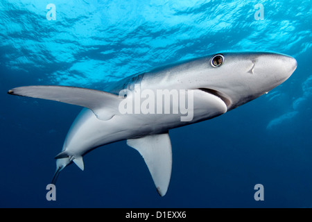 Blue Shark (Prionace glauca), Cape Point, Cape Town, South Africa, Atlantic Ocean, Indian Ocean, underwater shot - Stock Photo