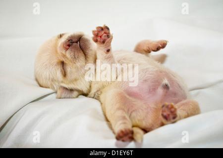 Cream-colored pug puppy lying on sheet - Stock Photo