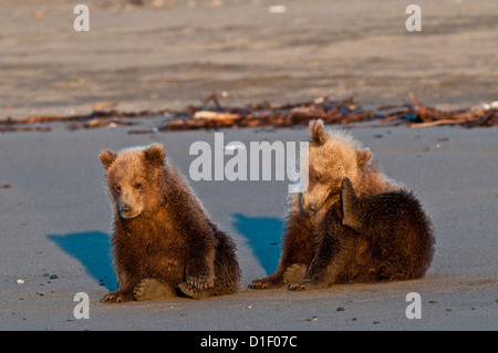 Brown bear cubs on beach; Lake Clark National Park, AK - Stock Photo