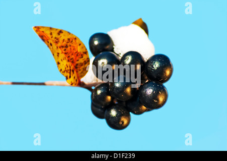 privet berries with snow hat - Stock Photo