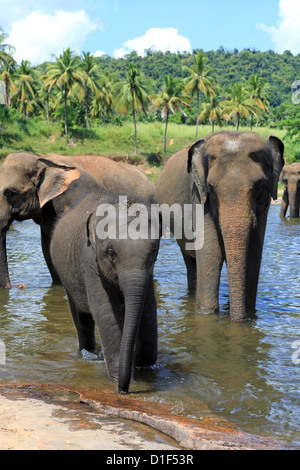 Herd of elephants bathing in river at Pinnawala Elephant Orphanage in Sri Lanka - Stock Photo