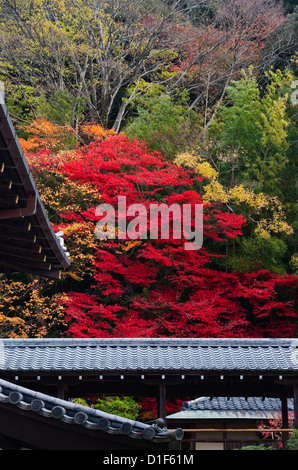Autumn in Nanzen-ji Hojo, Nanzen-ji, Kyoto, Japan. A brilliant crimson maple in the temple garden - Stock Photo