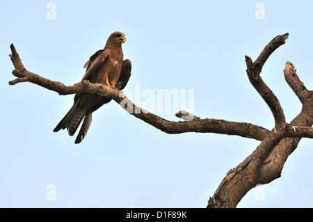 Black Kite Milvus migrans, Accipritidae, Gambella National Park, Ethiopia, Africa - Stock Photo