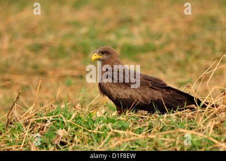 Black Kite Milvus migrans, Accipritidae, Gambela National Park, Etiopia, Africa - Stock Photo
