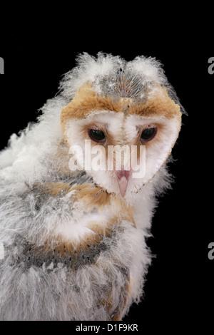 Barn Owl Tyto alba Single juvenile portrait UK - Stock Photo