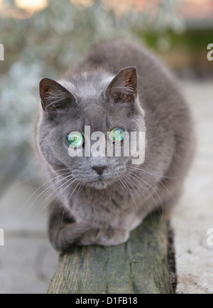 Moggy cat Single adult with cateracts UK - Stock Photo
