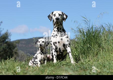 Dog Dalmatian / Dalmatiner / Dalmatien adult and puppy sitting - Stock Photo