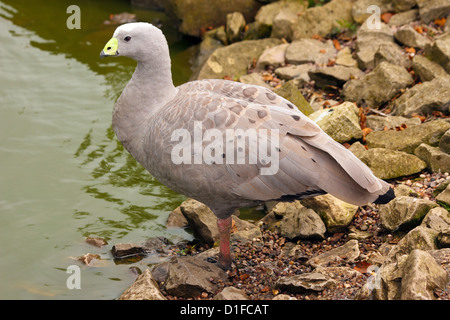 The Cape Barren Goose, a large goose resident in southern Australia, in captivity in the United Kingdom - Stock Photo