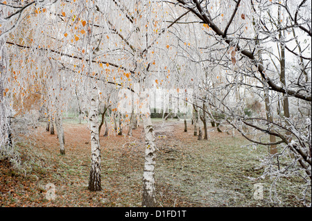 Frost-covered birch trees, town of Cakovice, Prague, Czech Republic, Europe - Stock Photo
