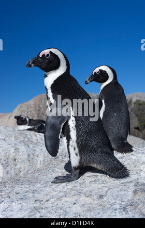 African penguins (Spheniscus demersus), Table Mountain National Park, Cape Town, South Africa, Africa - Stock Photo