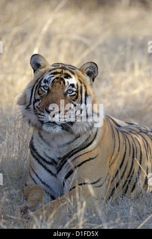 Portrait of a Bengal tiger (Panthera tigris tigris) lying down in dry forest, Ranthambhore national park, Rajastan, - Stock Photo