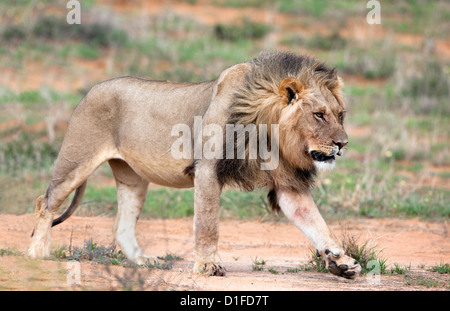 Lion (Panthera leo), Kgalagadi Transfrontier Park, Northern Cape, South Africa, Africa - Stock Photo