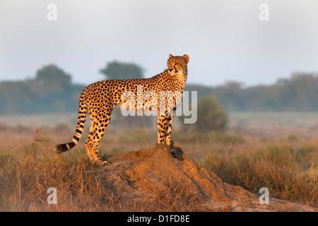 Cheetah female (Acinonyx jubatus), Phinda private game reserve, Kwazulu Natal, South Africa, Africa - Stock Photo