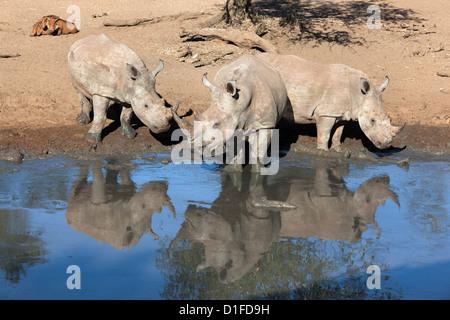 White rhinos (Ceratotherium simum), Mkhuze game reserve, Kwazulu Natal, South Africa, Africa - Stock Photo