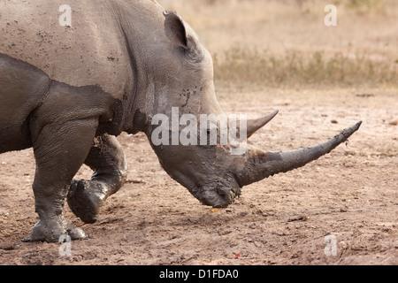 White rhino (Ceratotherium simum), Imfolozi game reserve, KwaZulu-Natal, South Africa, Africa - Stock Photo