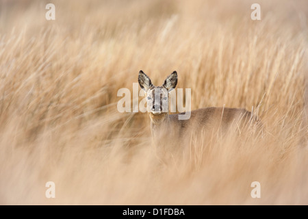 Roe deer buck (Capreolus capreolus), Islay, Scotland, United Kingdom, Europe - Stock Photo