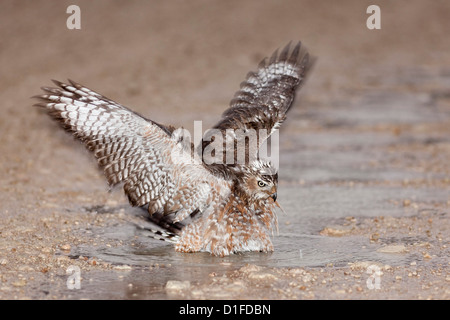 Immature Southern Pale Chanting Goshawk (Melierax canorus) bathing after rain, Kgalagadi Transfrontier Park, South - Stock Photo