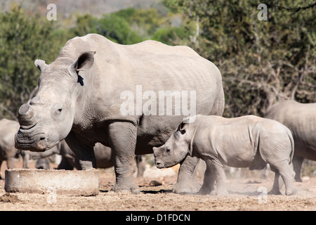 Dehorned white rhino (Ceratotherium simum) with calf, Mauricedale game ranch, Mpumalanga, South Africa, Africa - Stock Photo