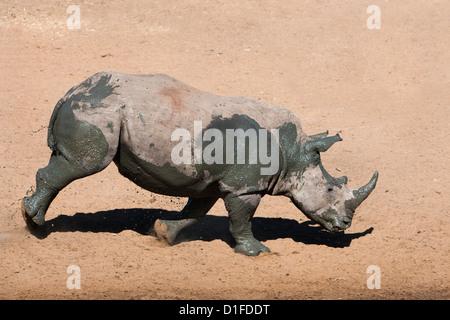 White rhino (Ceratotherium simum) running alongside waterhole, Mkhuze game reserve, KwaZulu Natal South Africa, - Stock Photo