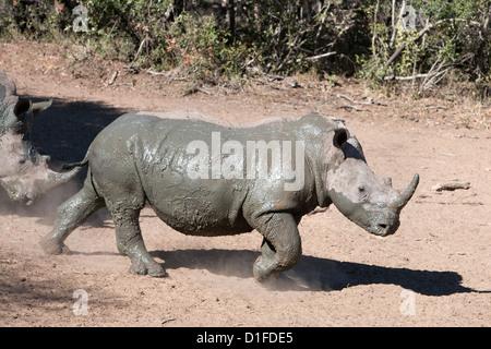 White rhino (Ceratotherium simum), Mkhuze game reserve, Kwazulu Natal, South Africa, Africa - Stock Photo