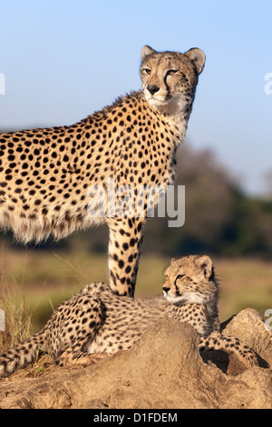 Cheetah (Acinonyx jubatus) with cub, Phinda private game reserve, Kwazulu Natal, South Africa, Africa - Stock Photo