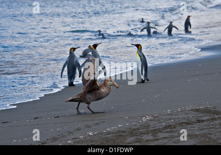 Southern Giant Petrel (macronectes giganteus) and King Penguins (aptenodytes patagonicus) at St Andrews Bay, South - Stock Photo