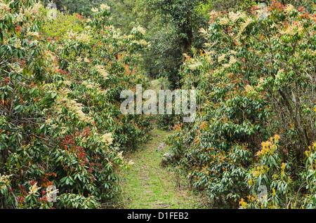 Rhododendron forest, near Titi, Annapurna Conservation Area, Dhawalagiri (Dhaulagiri), Western Region (Pashchimanchal), - Stock Photo