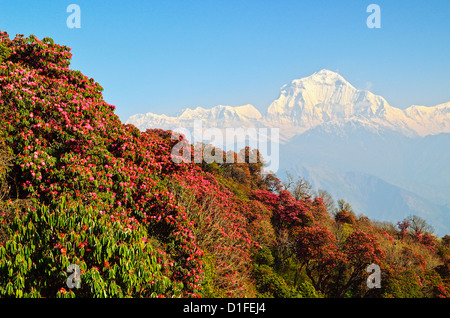 Rhododendron and Dhaulagiri Himal seen from Poon Hill, Annapurna Conservation Area, Dhawalagiri, Pashchimanchal, - Stock Photo
