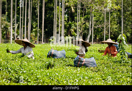 Tea leaf harvesters at work on a tea plantation near the town of Jorhat, Assam, north east India. - Stock Photo