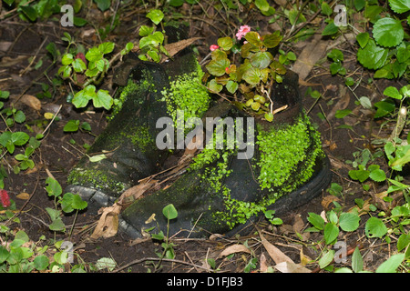Old boots with moss / ferns growing on leather - used as plant pots / containers in garden - Stock Photo