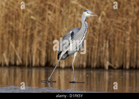 Grey heron, Ardea cinerea, single bird on ice, Warwickshire, December 2012 - Stock Photo