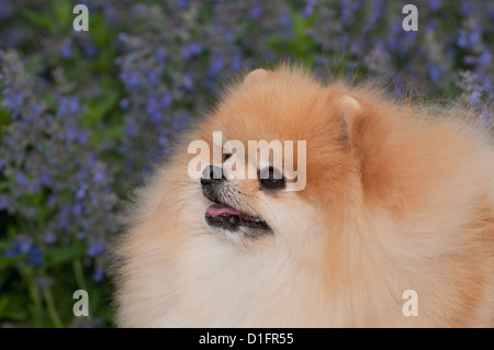 Pomeranian with flowers behind-Head shot - Stock Photo