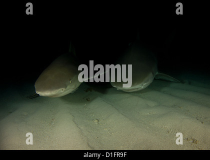 Lemon and Tiger Shark on a Night Dive - Stock Photo