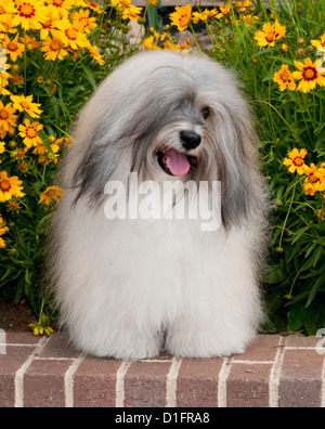 Havanese in front of flowers - Stock Photo