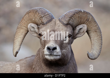 Bighorn sheep (Ovis canadensis) ram durng the rut, Clear Creek County, Colorado, United States of America, North - Stock Photo
