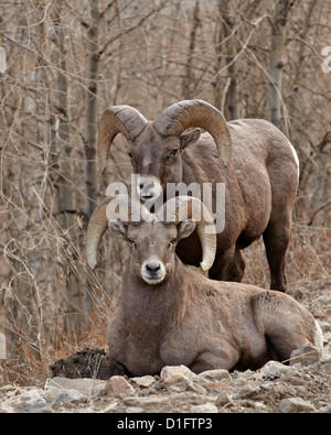 Two bighorn sheep (Ovis canadensis) rams during the rut, Clear Creek County, Colorado, United States of America, - Stock Photo