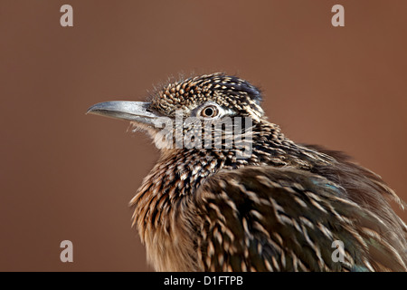 Greater roadrunner (Geococcyx californianus) in captivity, Living Desert Zoo And Gardens State Park, New Mexico, - Stock Photo