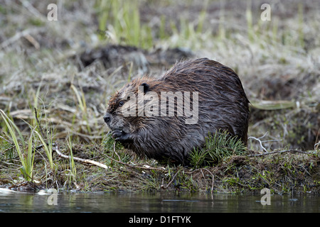 Beaver (Castor canadensis) eating an evergreen branch, Yellowstone National Park, Wyoming, United States of America - Stock Photo