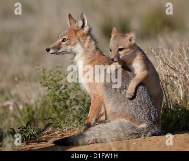 Swift fox (Vulpes velox) kit climbing on the vixen, Pawnee National Grassland, Colorado, United States of America, - Stock Photo