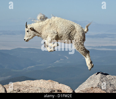 Mountain goat (Oreamnos americanus) yearling jumping, Mount Evans, Arapaho-Roosevelt National Forest, Colorado, - Stock Photo